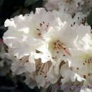 SP30rhododendronpink