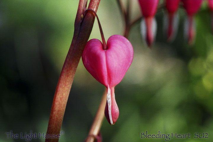 SU02bleedingheart