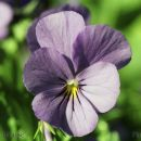 SP25pansy