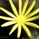SU07chrysanthemum