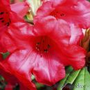 SP31rhododendronred